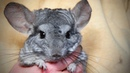 Funny Chinchilla 🐭Funny and Cute Chinchilla Full Funny Pets