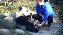 Nanny Gently Strips Bamboo Shoots For Toffee | iPanda
