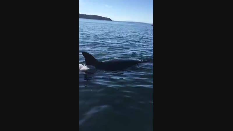 Seal jumps on boat to get away from Killer whales.CRAZY