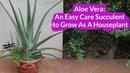 Aloe Vera: An Easy Care Succulent To Grow As A Houseplant / Joy Us Garden