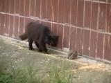 крыса против стаи кошек. боевая крыса