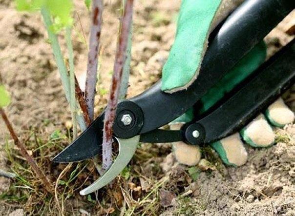 как обрезать ягодные кусты. смородина, малина, крыжовник. получение высоких и устойчивых урожаев ягодных кустарников во многом зависит от систематической обрезки кустов. основными задачами