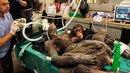 Детеныш шимпанзе растрогал врачей, которые делали операцию его маме