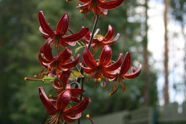 ЛИЛИЯ МАРТАГОН Гибриды лилии мартагон - желанное растение для тенистого уголка любого сада. Проблема только одна - луковицы редко бывают в продаже. А ведь лилию кудреватую в садовой культуре