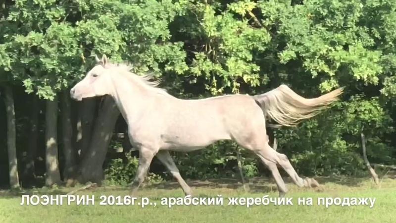 Продажа лошадей арабской породы конефермы Эквилайн, тел., WhatsApp 79883400208 (ЛОЭНГРИН2016г.р.)