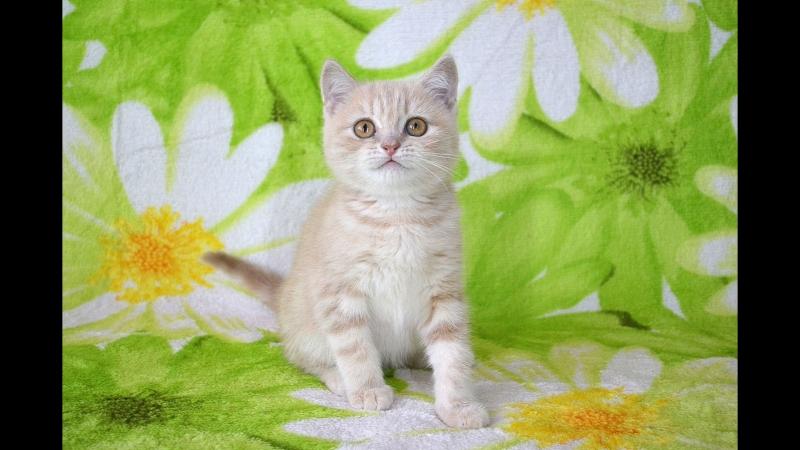 Шотландский прямоухий котик окрас кремовый серебристый мрамор