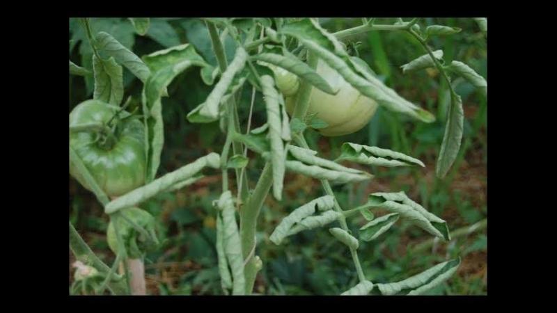 Во саду ли в огороде Срочно Сделайте Это С Томатами Если Увидели Такие Листья