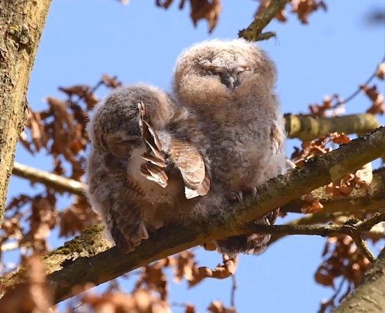 """Ib Helles Olesen on Instagram """"Teens care so much about their looks ! Two Tawny Owls on a day roost find the time to set the feathers …"""""""