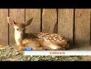 Бэмби-бум: в пермском зоопарке в один день родились два олененка