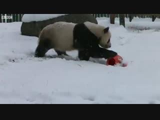 Панда радуется первому снегу в зоопарке Китая, 31 октября 2018 года!