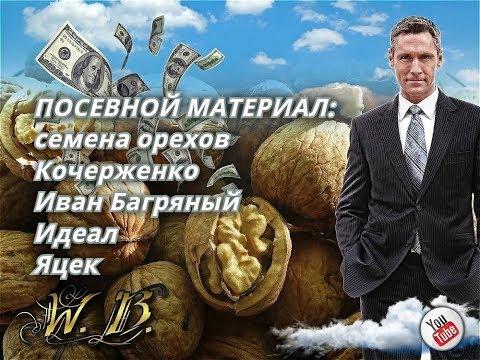 Посевной материал/семена ореха Кочерженко, Иван Багряный, Идеал, Яцек от Walnuts Broker