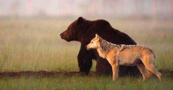 Суровая дружба бурого медведя и волчицы, в которую сложно поверить: ↪ Парочка словно сошла со страниц русской сказки. 😍