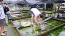AMAZING AQUATIC PLANT FARM in Singapore - Capricorn Aquarium
