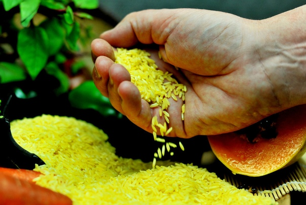 Золотой рис: для чего генетики вывели необычный рис, и почему проект провалился Как и большинство генетически модифицированных растений, из которых получают продукты питания, золотой рис был