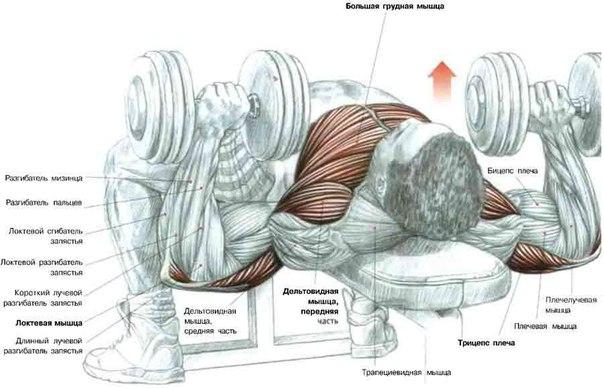 уплотняет мышцы груди,