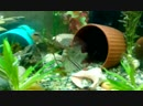 пельвикахромис пульхера крибенсис попугайчик