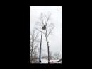Спил дерева с применением вышки - Железный Дровосек