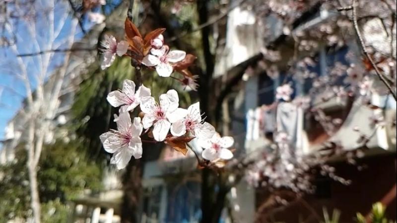 замедленная съёмка цветки алычи