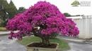 50 tác phẩm Hoa Giấy bonsai tuyệt đẹp của Đài Loan Top 50 Bougainvillia bonsai trees in Taiwan