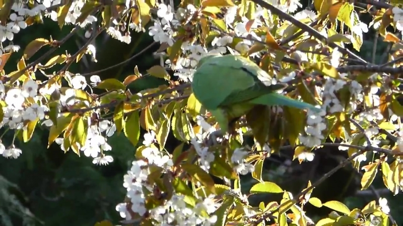 Halsbandparkieten snoepen van de bloesem Rose ringed Ring necked Parakeets r смотреть онлайн без регистрации