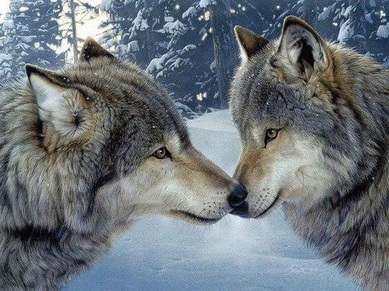Волк — наиболее крупное