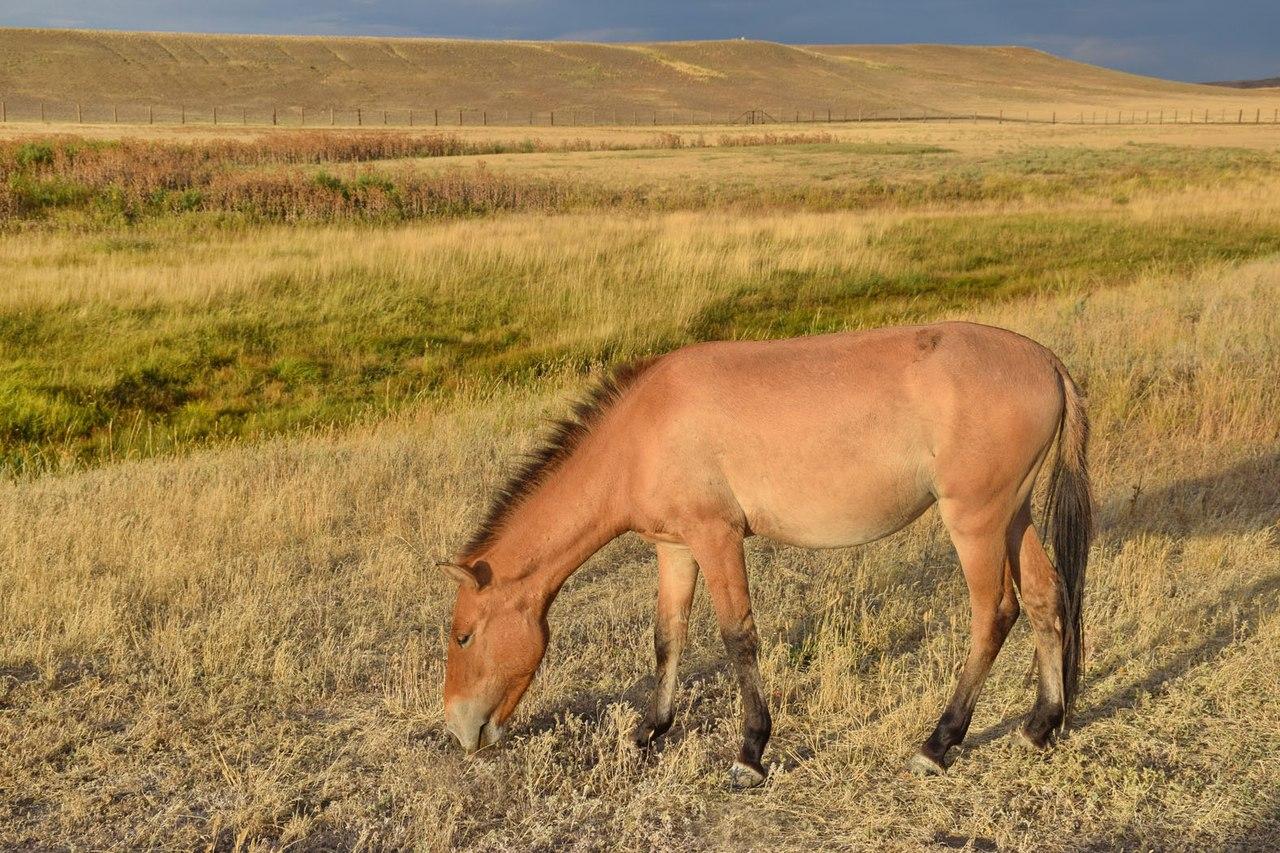Лошадь Пржевальского в Предуральской степи
