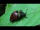 Zigzag fungus beetle Erotylus incomparabilis
