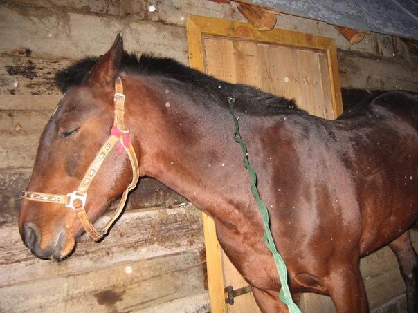 В какой позе спят лошади Профессионалы-конники и счастливые владельцы этих удивительных животных, конечно же, знают, как спят лошади. Однако для людей, далеких от конного спорта и верховой езды,