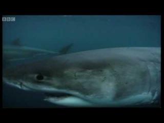 Great White shark feeding - Wildlife Specials: Great White Shark - BBC