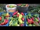 Во саду ли в огороде • Что Случилось С Перцем?! Проверенный Способ Выращивания Перца В ОГ.
