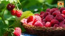 Правильный уход за малиной и смородиной после плодоношения Дачные советы Сад и огород