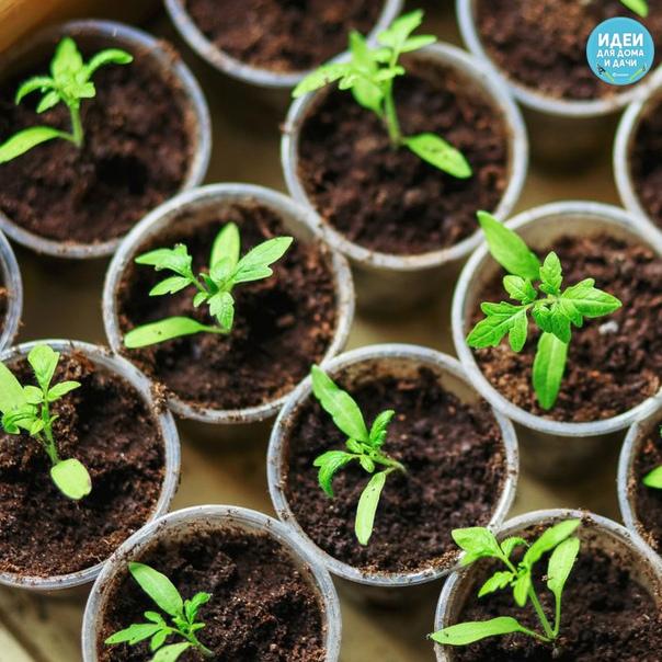 Нарoдные средствa для подкоpмки помидоров  cамыe лучшиe рeцeпты