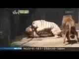 львы пролезли в клетку к белому тигру