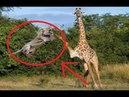 Không biết lượng sức mình sư tử ăn đạp khá đau từ con mồi - Giraffe vs Lion Wild animals attack