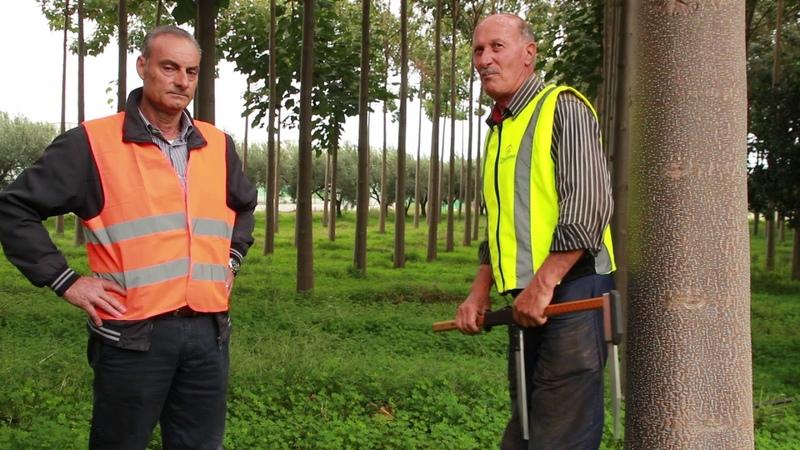 Павловния дерево Феникс самое быстрорастущее лиственное дерево вырастающее за 3 года до 20м