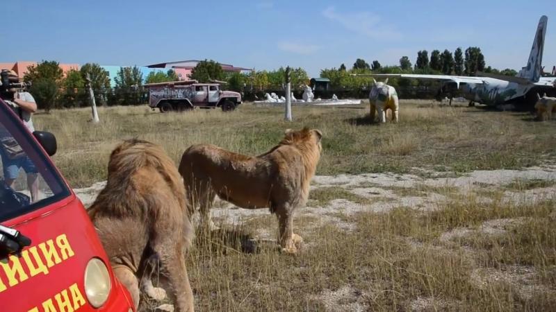 ИНТЕРЕСНО ! Как мы знакомили львов Олежку и Филю !