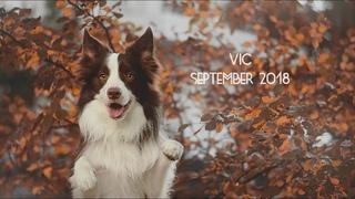 Vic border collie - September 2018