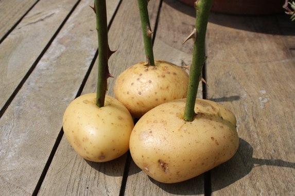 Посадка черенков роз картошку