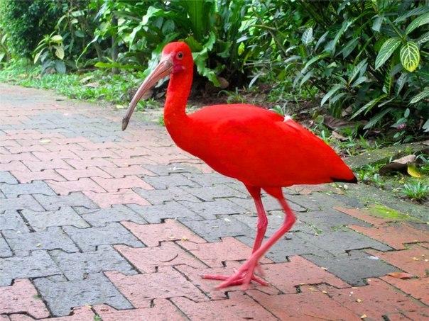 Красный ибис - огненная красота