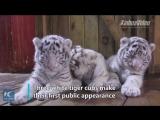 Белые тигры-тройняшки в Куньмине