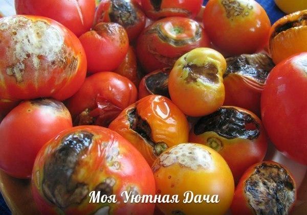 Советы огородникам! Лечение фитофторы горьким перцем. Одно из сильнейших средств против фитофторы на томатах опрыскивание растений вместе с плодами (в том числе и зелеными) настоем красного