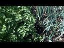 Лук Штутгарт и 4 супер ЭЛИТНЫХ сорта картофеля 🥔