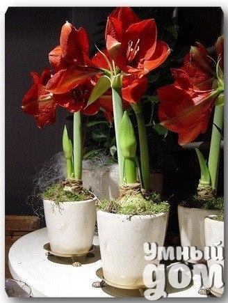 Зеленый дом: Выращиваем амариллисы! Растение относится к семейству Амариллисовых, родом оно из Южной Африки. Но те растения, которые живут у нас дома уже акклиматизированы для комнатного выращивания в нашей климатической зоне. В основном у нас распространен вид Амариллис Прекрасный. Он имеет большую луковицу, которая выбрасывает длинные, до 60 - 80 см и достаточно толстые цветоносы с зонтиками трубчатых цветов (по 4-5 штук на цветоносе). В квартире растение не рекомендуется ставить на…
