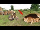 Brave Man Rescue Cats Attacking By Python - Real Anaconda Stalks by Raj Studio