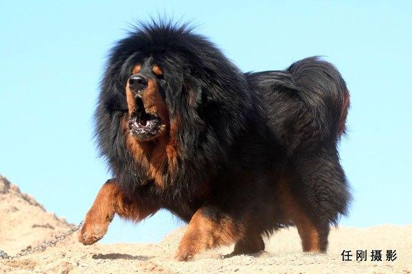 Half Dog Half Lion Тибетский Мастиф