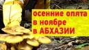 Осенние опята в Абхазии