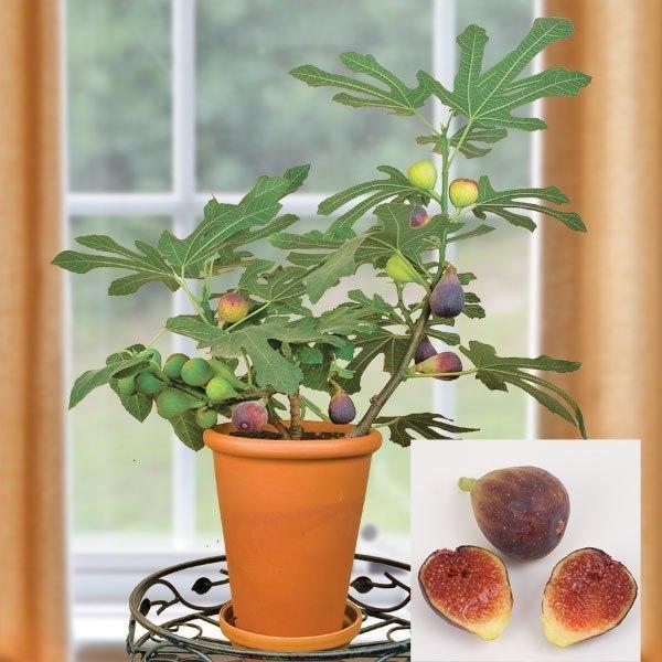 как вырастить и правильно ухаживать за комнатным инжиром инжир недаром пользуется популярностью из плодовых деревьев, которые выращивают в комнатных условиях, комнатный инжир выделяется