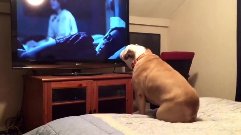 Бульдог смотрит фильм ужасов