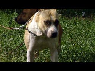 В Калининграде бойцовый пес и его владелец держат в страхе соседей - Первый канал