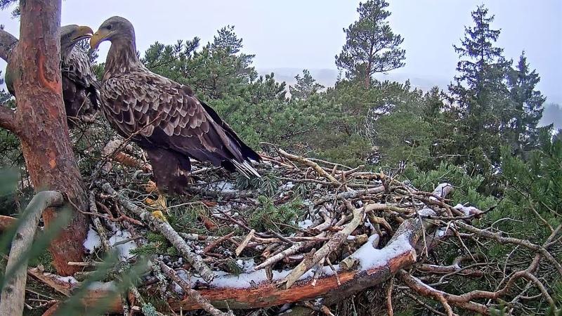 Igaunijas jūras ērgļu pāris,rīta rosība no 8:08 līdz 8:54 14.02.2018